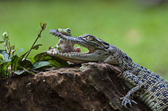 Rane ed alligatori di amicizia Fotografie Stock