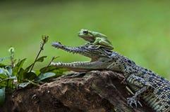 Rane ed alligatori di amicizia II Immagini Stock Libere da Diritti