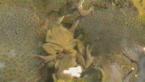 Rane frenetiche e le loro uova video d archivio