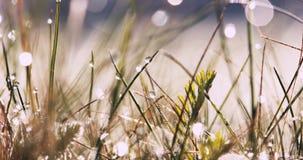 Ranek łąka, mokra trawa zbiory