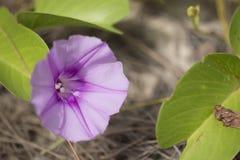 Ranek chwały kwiat Zdjęcia Stock