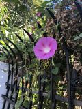 Ranek chwały kwiat w sunning ranku zdjęcia stock