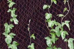 Ranek chwały winogradu narastający up Fotografia Royalty Free