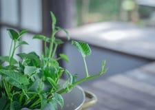 Ranek chwały zieleń Zdrowa, Naturalny Zdjęcie Stock
