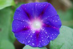 Ranek chwały kwiat zdjęcie stock