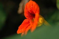 Ranek chwały kwiatu stamen Obrazy Royalty Free