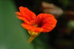 Ranek chwały kwiatu stamen Fotografia Stock