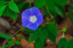 Ranek chwały kwiatu stamen Zdjęcie Royalty Free