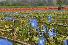 Ranek chwały kwiaty zdjęcia royalty free
