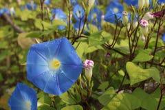 Ranek chwały kwiaty zdjęcie stock