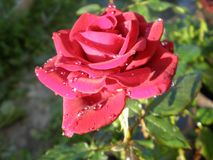 Ranek królowa kwiaty zdjęcie stock