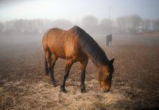 Ranek. Mgła. Konie Obrazy Royalty Free