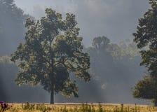Ranek mgła Zakrywa Wielkiego drzewa i Otwiera pole Fotografia Royalty Free