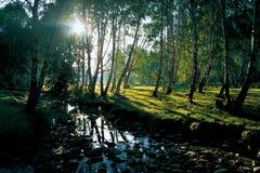 ranek mu platyphylla Fotografia Royalty Free