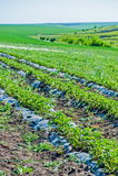 Ranek przy pięknym truskawki gospodarstwem rolnym Zdjęcia Royalty Free