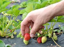 Ranek przy pięknym truskawki gospodarstwem rolnym Obraz Royalty Free