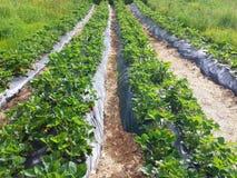 Ranek przy pięknym truskawki gospodarstwem rolnym Obraz Stock