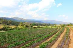 Ranek przy pięknym truskawki gospodarstwem rolnym Zdjęcia Stock