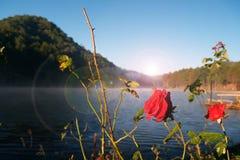 Ranek róże Fotografia Royalty Free