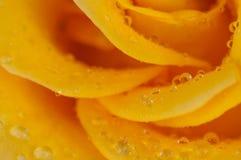 Ranek rosa na kolor żółty róży płatkach Zdjęcie Stock