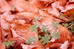 Ranek rosa na koniczynie Zdjęcie Royalty Free