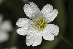 Ranek rosa na kwiacie Obrazy Royalty Free