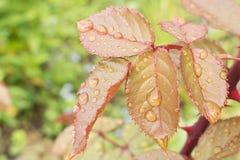 Ranek rosa na liściach różowy Bush zdjęcia royalty free