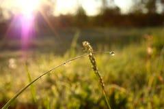 Ranek rosa na trawie Obraz Stock