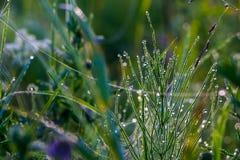 Ranek rosa na trawie z niciami sieć, Obraz Royalty Free