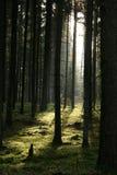 Ranek w lesie Zdjęcie Stock