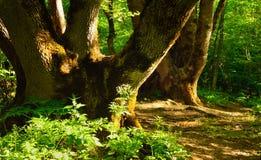 Ranek w lesie Obrazy Stock
