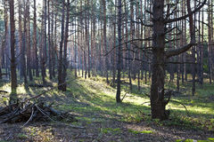 Ranek w lesie Fotografia Stock