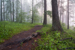 Ranek w magicznym lesie Fotografia Royalty Free