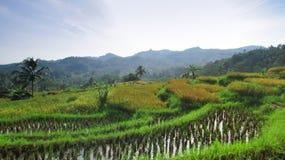 ranek w ryż polach w tasikmalaya Zdjęcia Royalty Free