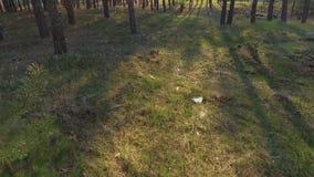 Ranek w sosnowej lasowej Zadziwiaj?cej lasowej pobliskiej mieszance Strzela? od trutnia na widok zbiory