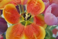 Rangée audacieuse lumineuse de tulipe Image libre de droits