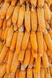 Rangée d'accrocher l'épi de maïs sec Images stock