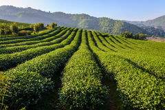 Rangée d'arbre de thé sur le moutain Images libres de droits