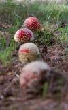 Rangée de champignons de Muscaria d'amanite Photos stock