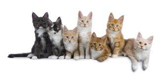 Rangée de 7 chatons de Maine Coon sur le blanc Image stock
