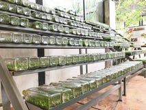 Rangée de culture ou de laboratoire de tissu d'orchidée ou végétal dans des bouteilles en verre dessus Photo libre de droits