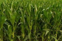 Rangée de fond de maïs vert Images libres de droits