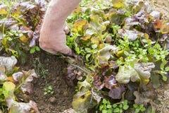 Rangée de l'élevage sativa de jeune de salade verte Lactuca de laitue dans le jardin, avec les mauvaises herbes et la main du jar Photo stock