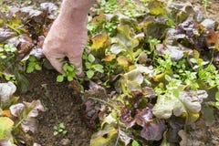 Rangée de l'élevage sativa de jeune de salade verte Lactuca de laitue dans le jardin, avec les mauvaises herbes et la main du jar Images libres de droits