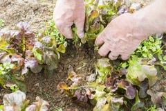 Rangée de l'élevage sativa de jeune de salade verte Lactuca de laitue dans le jardin, avec les mauvaises herbes et la main du jar Image libre de droits