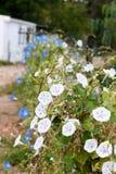 Rangée de l'horticulture de gloire de matin Photos stock