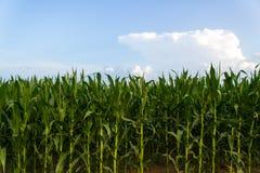 Rangée de maïs vert sous le ciel bleu Photos stock