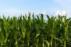 Rangée de maïs vert sous le ciel bleu Images stock