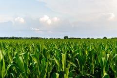 Rangée de maïs vert sous le ciel bleu Photo libre de droits