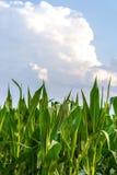 Rangée de maïs vert sous le ciel bleu Image libre de droits
